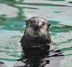 Even baby sea otters need pressure switches!